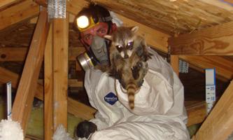 Houston Animal Trapping Texas Wildlife Control Raccoon